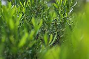"The green of bog-myrtle (Myrica gale) leaves, nature reserve ""Ģipka"", Kurzeme Seacoast, Latvia Ⓒ Davis Ulands | davisulands.com"