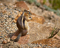 Chipmunk with a nut. Rocky Mountain National Park. Image taken with a Nikon D2xs camera and 105 mm f/2.8 VR macro lens (ISO 100, 105 mm, f/4, 1/1000 sec).