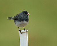 Black-eyed (or Grey-headed) Junco. Image taken with a Nikon D5 camera and 600 mm f/4 VR telephoto lens.