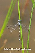 06033-001.01 Sweet Flag Spreadwing (Lestes forcipatus) male in wetland, Marion Co. IL