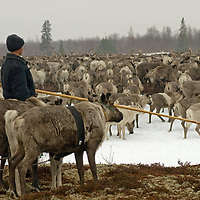 North of the Arctic Circle in Russia, Arthum Khantazeski, a nomadic Komi reindeer herder, watches – and sometimes directs – the herd movement as cows begin to calve.  The group's objective is to keep them in one place during this crucial period, before mosquitoes force both people and caribou to move to higher ground in nearby mountains.