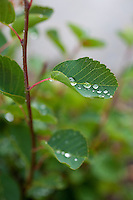 Waterdrops on alder leaves near Chilko Lake. British Columbia, Canada.