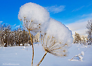 Beargrass stalks covered in fresh snowfall at Marias Pass in Glacier National Park, Montana, USA