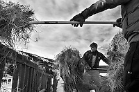 Brad Mead and Josh Vosika pitch hay into a coral while feeding cattle and horses on Mead's ranch in Spring Gulch, Jackson Hole, Wyoming.