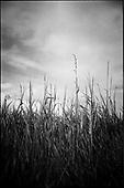 Wild Grasses, Suffolk 2009