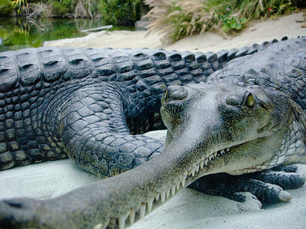 Indian Gharials at the San Diego Zoo
