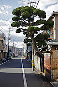 single tree growing by the street Yokosuka Japan