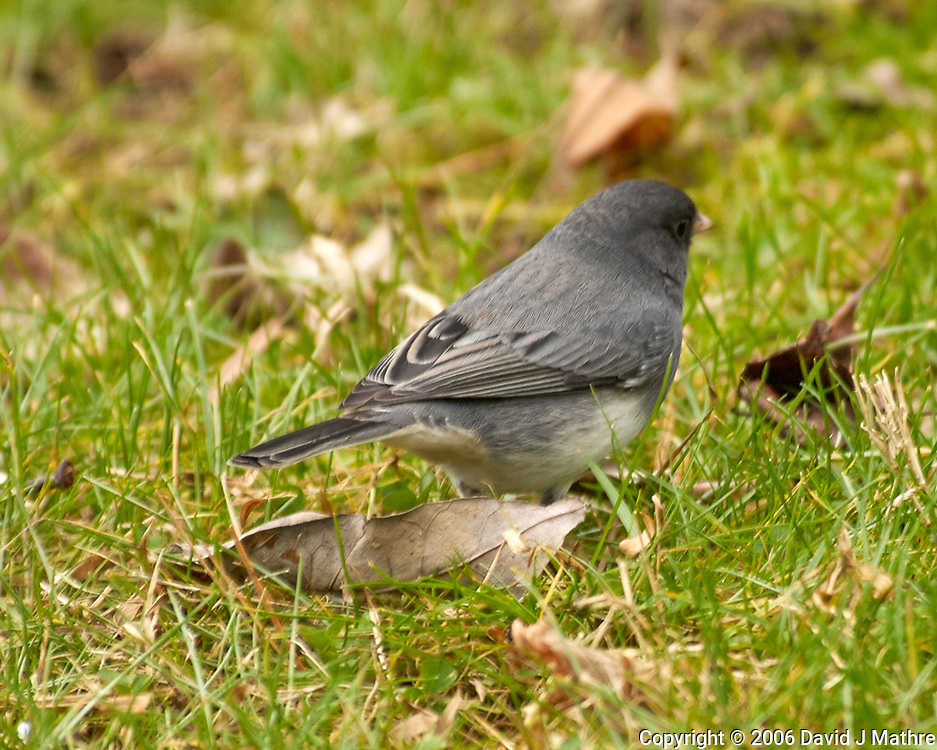 Dark-eyed Junco (Junco hyemalis). Image taken with a Nikon D2xs camera and 80-400 mm VR lens.