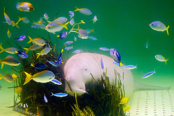 dugong, Dugong dugong, feeding on amamo, Cymodocea sp., seagrass native to Japan, and various reef fish (c), Indo-Pacific Ocean