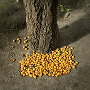 Apricot gathered at the bottom of the tree.<br /> Around Shimshal village, one of the remotest village in Gojal region, upper Hunza.