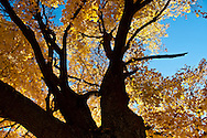 Yellow fall color on a large maple tree in the Methow Valley, Washington.