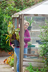 Bringing a tender pot plant - canna - into the greenhouse to overwinter
