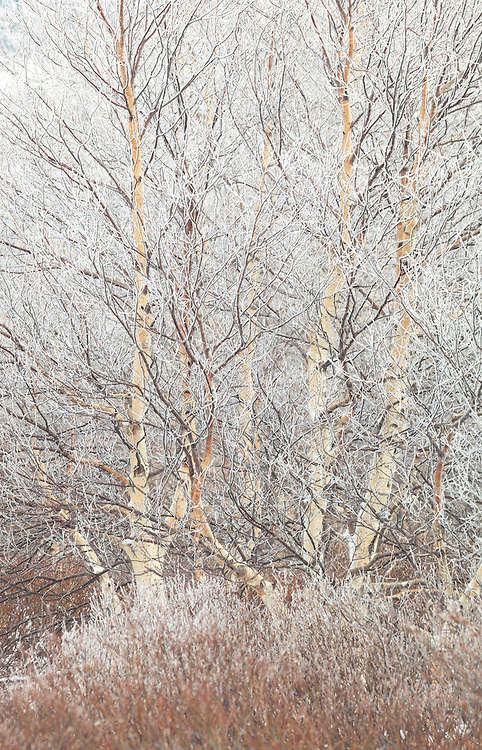 Birch tree (Betulaceae) with frost on the branches and  bushes in the front