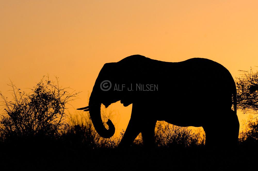 Sunrize Elephant. African Elephant (Loxodonta africana) feeding during dawn in Samburu National Reserve, Kenya.