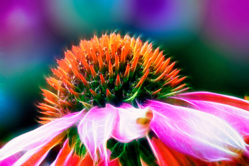 The genus name is from the Greek echino, meaning hedgehog, an allusion to the spiny, brownish central disk. The flowers of Echinacea species are used to make an extremely popular herbal tea, purported to help strengthen the immune system; an extract is also available in tablet or liquid form in pharmacies and health food stores. Often cultivated, Purple Coneflower is a showy, easily grown garden plant.