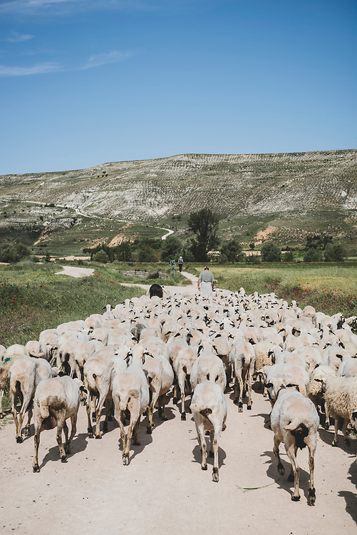 A shepherd leads a flock of sheep down a dirt road that is part of the Camino de Santiago on the outskirts of Castrojeriz, Spain. Castrojeriz is located in the province of Burgos, in the autonomous community of Castilla y León. (June 2018)