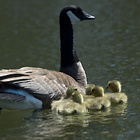 Baby goslings swimming with parents.