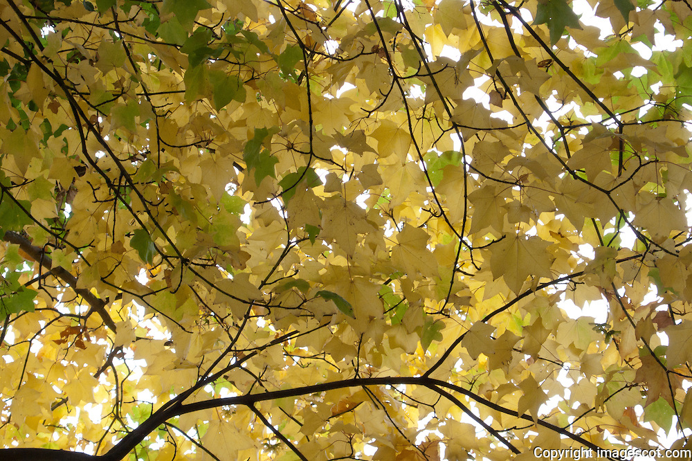 Autumn colours, maple leaves<br /> *ADD TO CART FOR LICENSING OPTIONS*