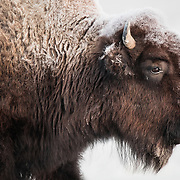 A frosty morning for this Yellowstone Bison.