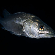 This is a mature Japanese sea bass (Lateolabrax japonicus) measuring about 60cm. It was patrolling a shallow reef area at night in search of food. Found in the western Pacific, this species is catadromous. These fish are protandrous hermaphrodites.