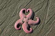Starfish near Homer, Alaska During the Kachemak Bay Shorebird Festival