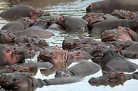 happy Hippopotamus (always smiling) in the Mara river in the masai mara reserve in kenya africa