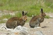 Mountain hare, Lepus timidus, summer coat, sat amongst stones, Strathdearn, Highland.<br /> landscape; season; seasons; summer; brown; grey;<br /> stones; stone; sat; sit; sitting; summer coat; adult;<br /> animal; animals; mammal; mammals; lagomorph;<br /> lagomorphs; wildlife;