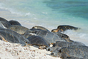 green sea turtles, Chelonia mydas ( Threatened Species ), basking on beach (a behavior only commonly observed in Hawaii and one other location) at the primary breeding area for this species in the Hawaiian archipelago, East Island, French Frigate Shoals, Papahanaumokuakea Marine National Monument, Northwest Hawaiian Islands, Hawaii, USA ( Central Pacific Ocean )