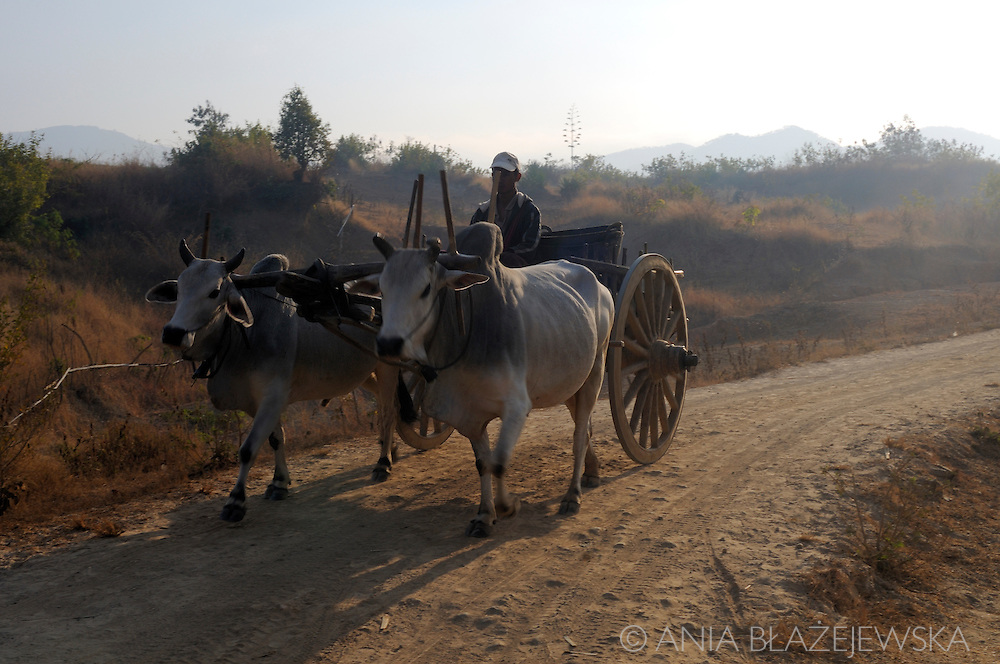Burma/Myanmar, Shan Hills. Buffalo cart on the mountain road early in the morning.