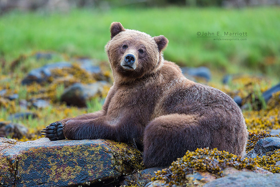 Grizzly bear, Khutzeymateen Grizzly Bear Sanctuary, BC, Canada