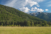 Wagyu Cattle, Grizzly Ridge, Tall Grass, Genesee Valley Ranch, Spring, Cumulus Clouds, White Puffy Clouds, Cirrus Clouds, Sierra Nevada Mountains, California Ranches