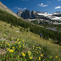 Glacier lilies sparkle as the snow recedes from Stoney Indian Pass in Glacier National Park.