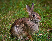 Harvey the Rabbit. Image taken with a Nikon D300 camera and 80-400 mm VR lens (ISO 2200, 400 mm, f/8, 1/250 sec).