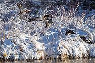 Mallard ducks take flight in the Teton River in Choteau, Montana, USA