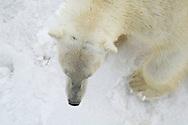 Polar Bear, Ursus maritimus, Severnaya Zemlya, Russia.
