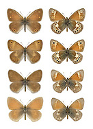 Large Heath - Coenonympha tullia - male, ssp. davus - Lake District (top row); <br /> female, ssp. davus - Lake District (2nd row); male, ssp. polydama - Scottish borders (3rd row); male, ssp. scotica - N Scotland (4th row). Hardy, upland butterfly. Adult seldom reveals upperwings; underside of hindwing is grey-brown while orange-brown forewing has a small eyespot. Flies June-July. Only flies in sunny weather and drops into vegetation the instant a cloud obscures the sun. Larva feeds on White Beak-sedge. Status Local on waterlogged acid moors from central Wales northwards; most widespread in Scotland, very local in Ireland.
