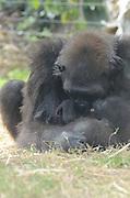 Female Western Lowland Gorilla hugging baby