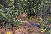 Alaskan bull moose bedded and sleeping in spruces.