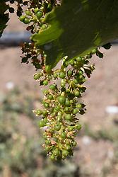Grapes, Emiliana Organic Vineyards