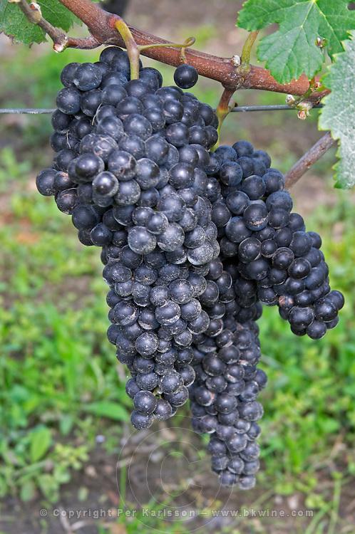 Bunches of ripe grapes. Merlot. Clos Saint Julien, Saint Emilion, Bordeaux, France