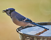 Blue Jay (Cyanocitta cristata). Image taken with a Nikon D5 camera and 600 mm f/4 VR telephoto lens.