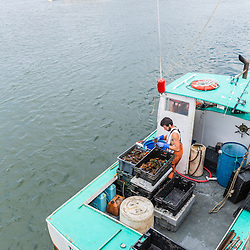"""Sternman Alexander Thomas sorts lobsters aboard """"Barbara Jean"""" at Pine Point in Scarborough, Maine."""