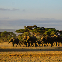 A small herd of elephants march towards the park to graze from community land where they spend most part of their evenings.