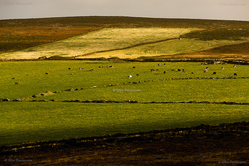 Bright sunshine falls on ancient Cornish fields and cattle on the moorland that can be seen fron the hill of Chapel Carn Brea, in the parish of St Just - an Hercynian granite outcrop, owned by the National Trust.
