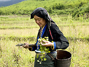 Nguan, a Tai Dam ethnic minority woman forages for vegetables in the rice field, Ban Na Mor, Oudomxay province, Lao PDR. For families living away from the main roads and markets, food caught or collected from the wild, especially edible plants and small animals still make up fifty per cent of their diet.  Nature's bounty in providing for the Lao may be plentiful, but this does not mean that the task of growing and finding enough food for family subsistence and maintenance is easy. It is a major preoccupation of rural families and takes the bulk of time and energy of every man, woman and child.