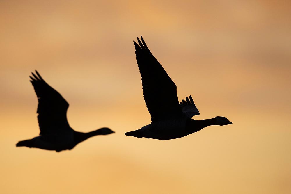 Barnacle geese, Branta leucopsis, Hjälstaviken Nature reserve, Uppland, Sweden