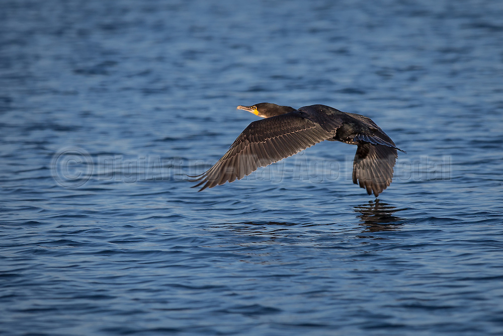 Skarv i flukt   Escaping Cormorant.