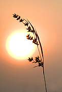 Grass silhouette against Sunrise, Gir Forest National Park and Wildlife Sanctuary, Gujarat, India, sun