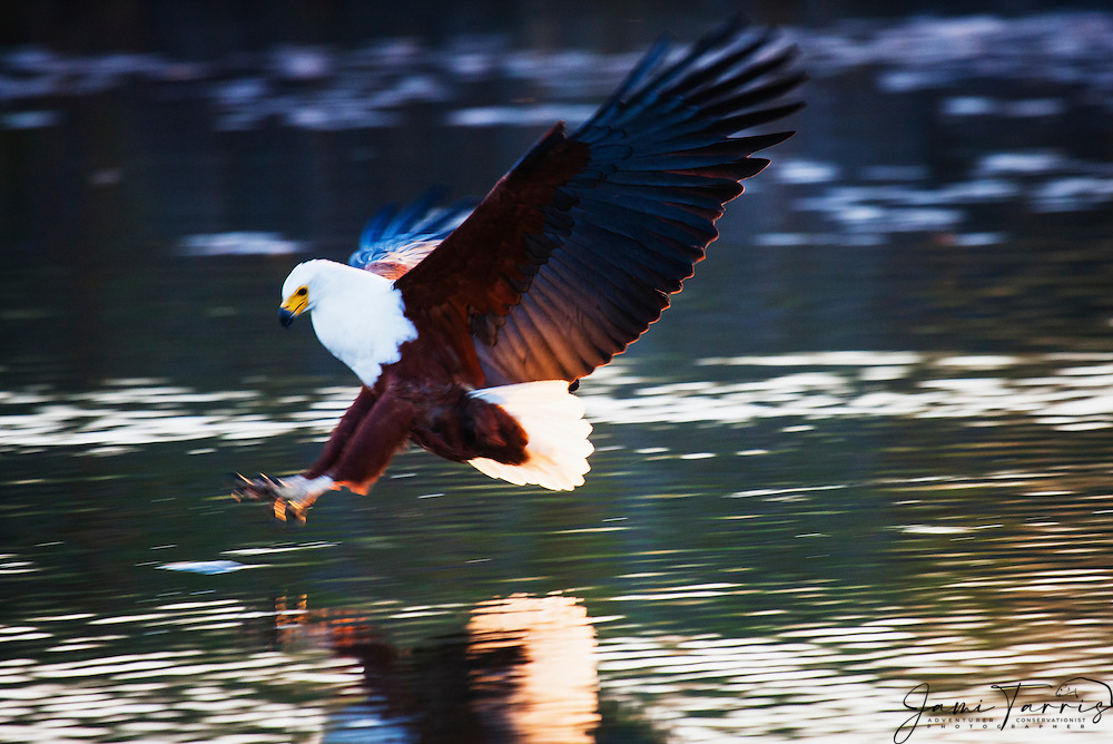 An African Fish Eagle (Haliaeetus vocifer) swoops down to the water to try to catch a fish,  Okavango Delta, Botswana, Africa