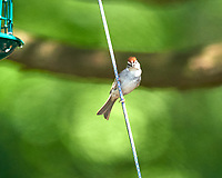 Chipping Sparrow. Image taken with a Nikon D800 camera and 600 mm f/4 VR lens.